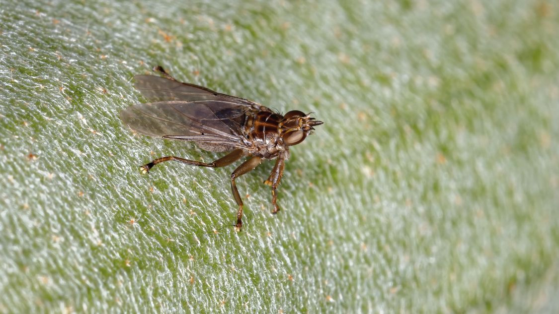 How to get rid of louse flies?